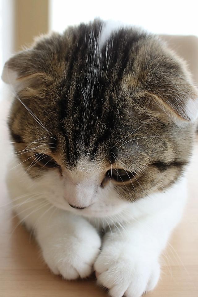 可愛い,猫,スマホ,壁紙,画像,まとめ037