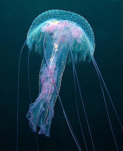 幻想的,美しい,クラゲ,水母,海月,画像,まとめ048
