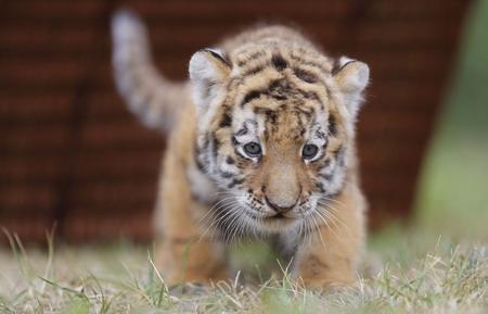 ライオン,トラ,子供,赤ちゃん,画像,まとめ002