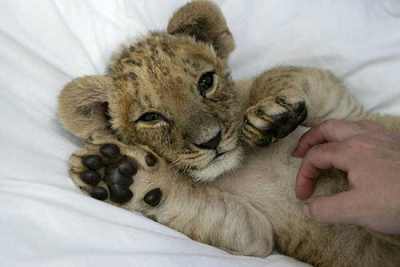 ライオン,トラ,子供,赤ちゃん,画像,まとめ003