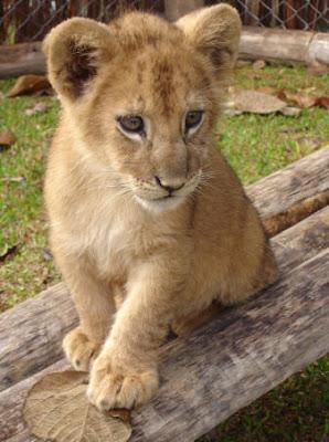 ライオン,トラ,子供,赤ちゃん,画像,まとめ004