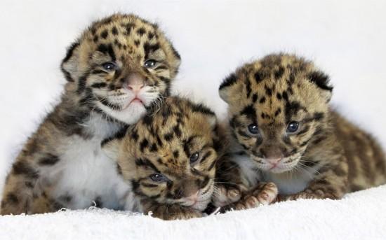 ライオン,トラ,子供,赤ちゃん,画像,まとめ008