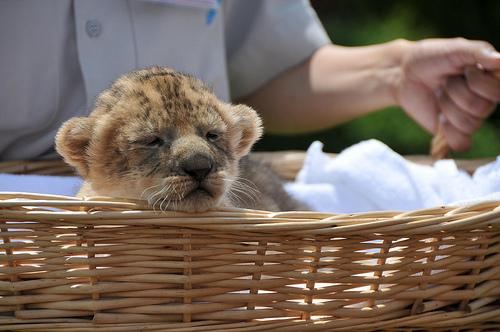 ライオン,トラ,子供,赤ちゃん,画像,まとめ010