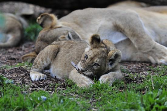 ライオン,トラ,子供,赤ちゃん,画像,まとめ012