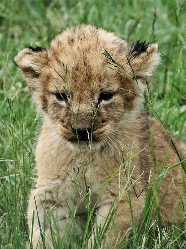 ライオン,トラ,子供,赤ちゃん,画像,まとめ016