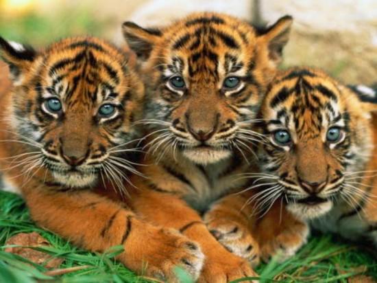 ライオン,トラ,子供,赤ちゃん,画像,まとめ017