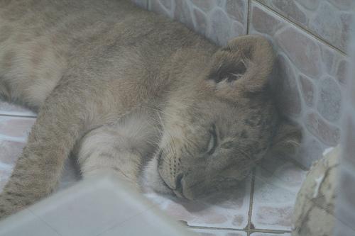 ライオン,トラ,子供,赤ちゃん,画像,まとめ018