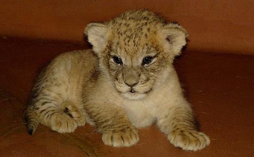 ライオン,トラ,子供,赤ちゃん,画像,まとめ020