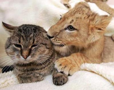 ライオン,トラ,子供,赤ちゃん,画像,まとめ022