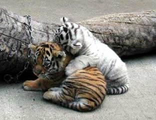 ライオン,トラ,子供,赤ちゃん,画像,まとめ025
