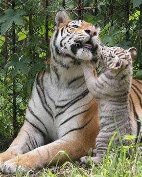 ライオン,トラ,子供,赤ちゃん,画像,まとめ026