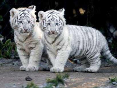 ライオン,トラ,子供,赤ちゃん,画像,まとめ027