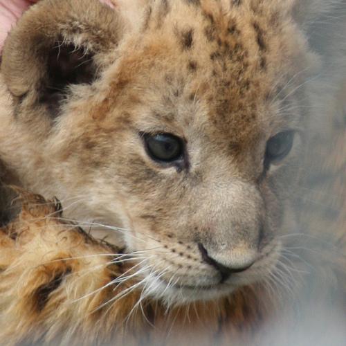 ライオン,トラ,子供,赤ちゃん,画像,まとめ029