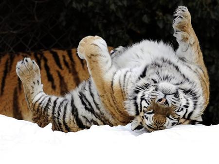 ライオン,トラ,子供,赤ちゃん,画像,まとめ030