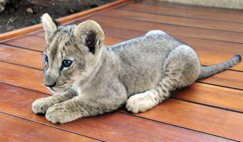 ライオン,トラ,子供,赤ちゃん,画像,まとめ031