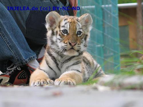 ライオン,トラ,子供,赤ちゃん,画像,まとめ036