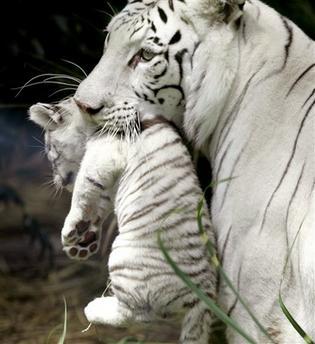 ライオン,トラ,子供,赤ちゃん,画像,まとめ041