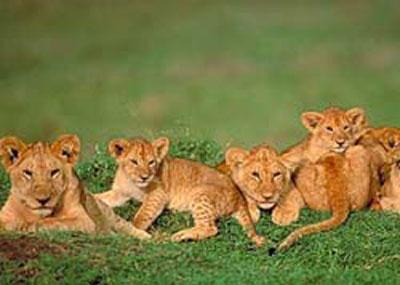 ライオン,トラ,子供,赤ちゃん,画像,まとめ043