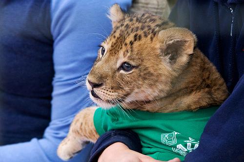 ライオン,トラ,子供,赤ちゃん,画像,まとめ046
