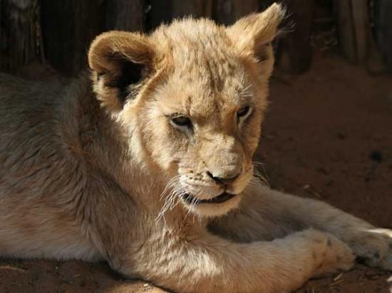 ライオン,トラ,子供,赤ちゃん,画像,まとめ048