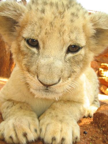 ライオン,トラ,子供,赤ちゃん,画像,まとめ050