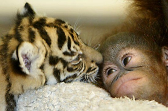 ライオン,トラ,子供,赤ちゃん,画像,まとめ051