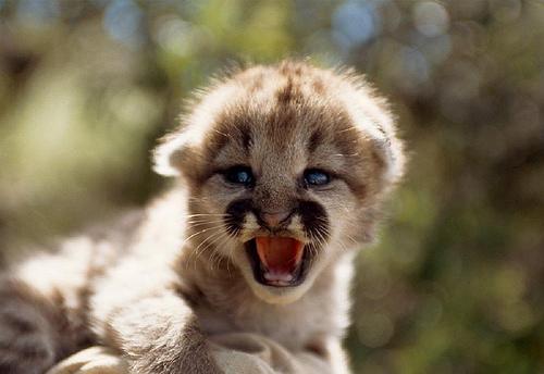 ライオン,トラ,子供,赤ちゃん,画像,まとめ057