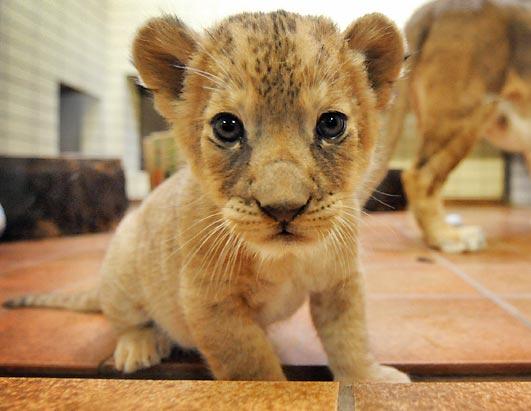 ライオン,トラ,子供,赤ちゃん,画像,まとめ062