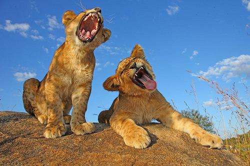 ライオン,トラ,子供,赤ちゃん,画像,まとめ066