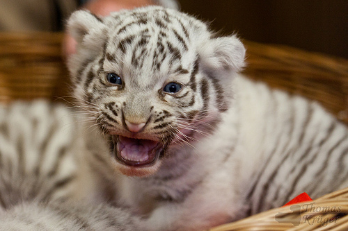 ライオン,トラ,子供,赤ちゃん,画像,まとめ070