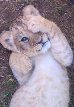 ライオン,トラ,子供,赤ちゃん,画像,まとめ077