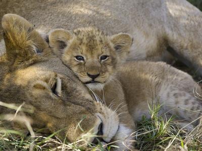 ライオン,トラ,子供,赤ちゃん,画像,まとめ079