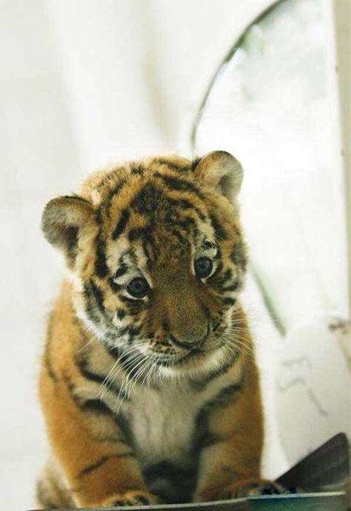 ライオン,トラ,子供,赤ちゃん,画像,まとめ080
