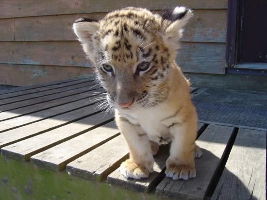 ライオン,トラ,子供,赤ちゃん,画像,まとめ082