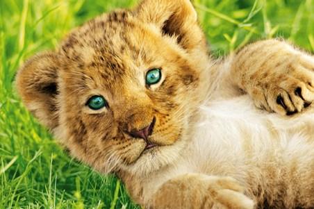ライオン,トラ,子供,赤ちゃん,画像,まとめ084