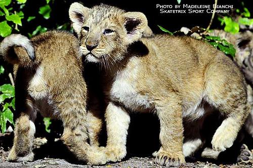 ライオン,トラ,子供,赤ちゃん,画像,まとめ087