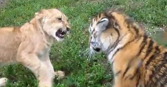ライオン,トラ,子供,赤ちゃん,画像,まとめ088