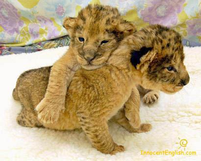 ライオン,トラ,子供,赤ちゃん,画像,まとめ094