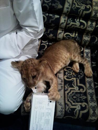 ライオン,トラ,子供,赤ちゃん,画像,まとめ095