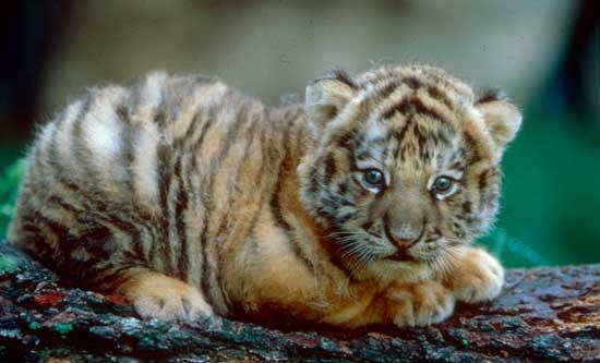 ライオン,トラ,子供,赤ちゃん,画像,まとめ100
