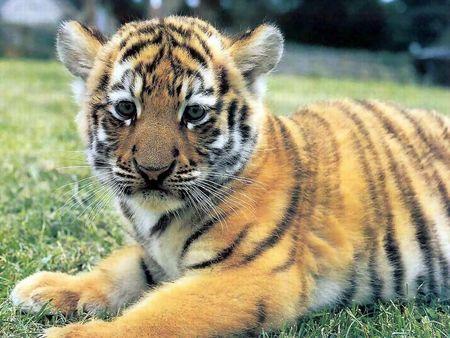 ライオン,トラ,子供,赤ちゃん,画像,まとめ105