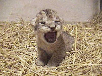 ライオン,トラ,子供,赤ちゃん,画像,まとめ106