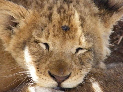 ライオン,トラ,子供,赤ちゃん,画像,まとめ107