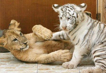 ライオン,トラ,子供,赤ちゃん,画像,まとめ109