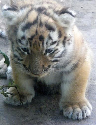 ライオン,トラ,子供,赤ちゃん,画像,まとめ116