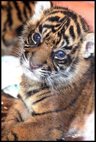 ライオン,トラ,子供,赤ちゃん,画像,まとめ119
