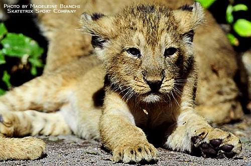 ライオン,トラ,子供,赤ちゃん,画像,まとめ121