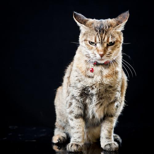 悪人顔,猫,画像,まとめ003