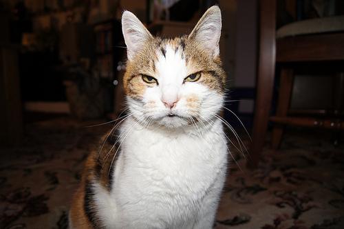 悪人顔,猫,画像,まとめ004