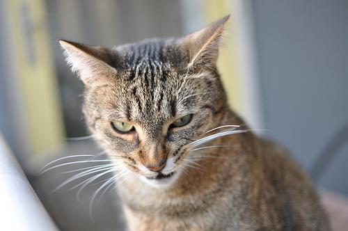 悪人顔,猫,画像,まとめ013